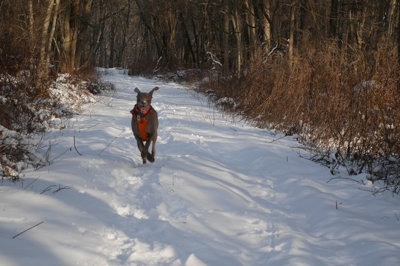 Anyonevwant to play in the snow today? Runningdog Eyemdog Running Weimaraner Cutepets Weimaranerlove Snow Weimaraners