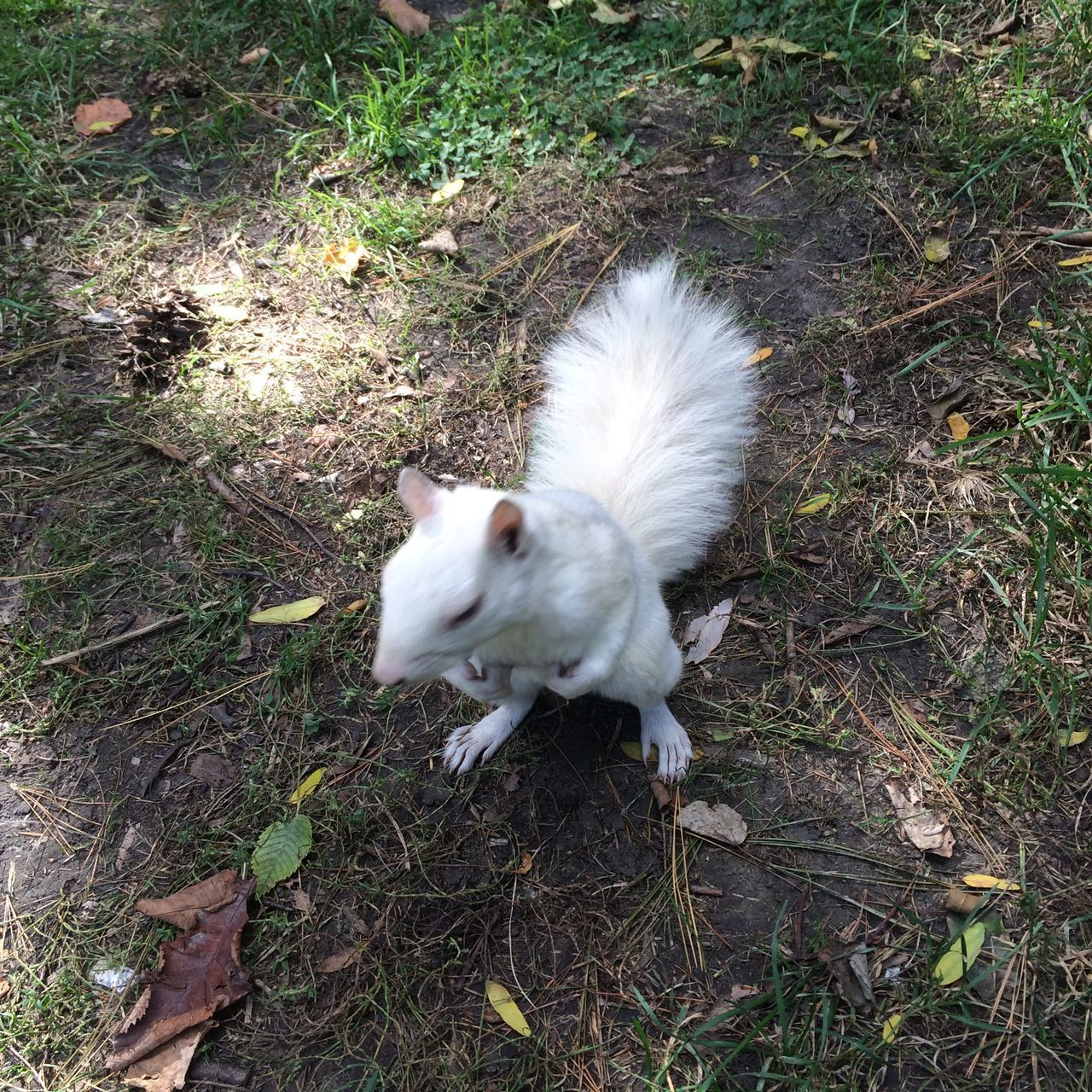 Albino Squirrel Animal Head  Animal Themes Canada Close Up Street Photography Domestic Animals No People One Animal Outdoors White White Squirrel リス クローズアップ 珍しいリス 白い動物 白リス 赤い目のリス