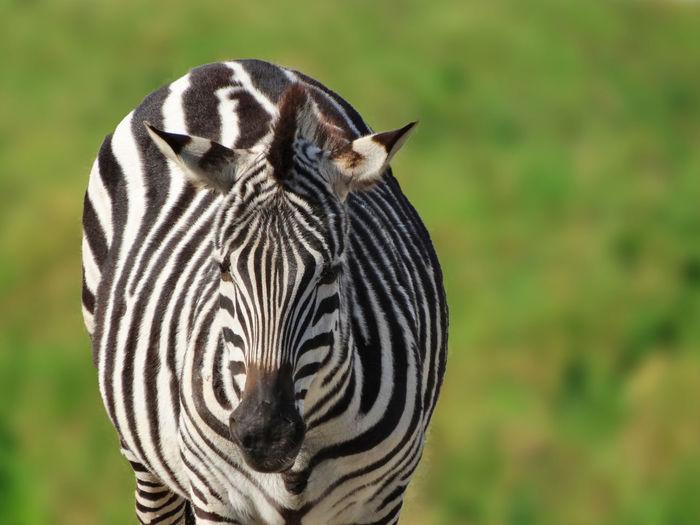 Zebra Dolichohippus Equidae Hippotigris Animal Themes Animal Wildlife Animalia Animals In The Wild Black And White Striped Coats Close-up Equus Grass Mammal Mammalia Nature Safari Animals Striped Zebra