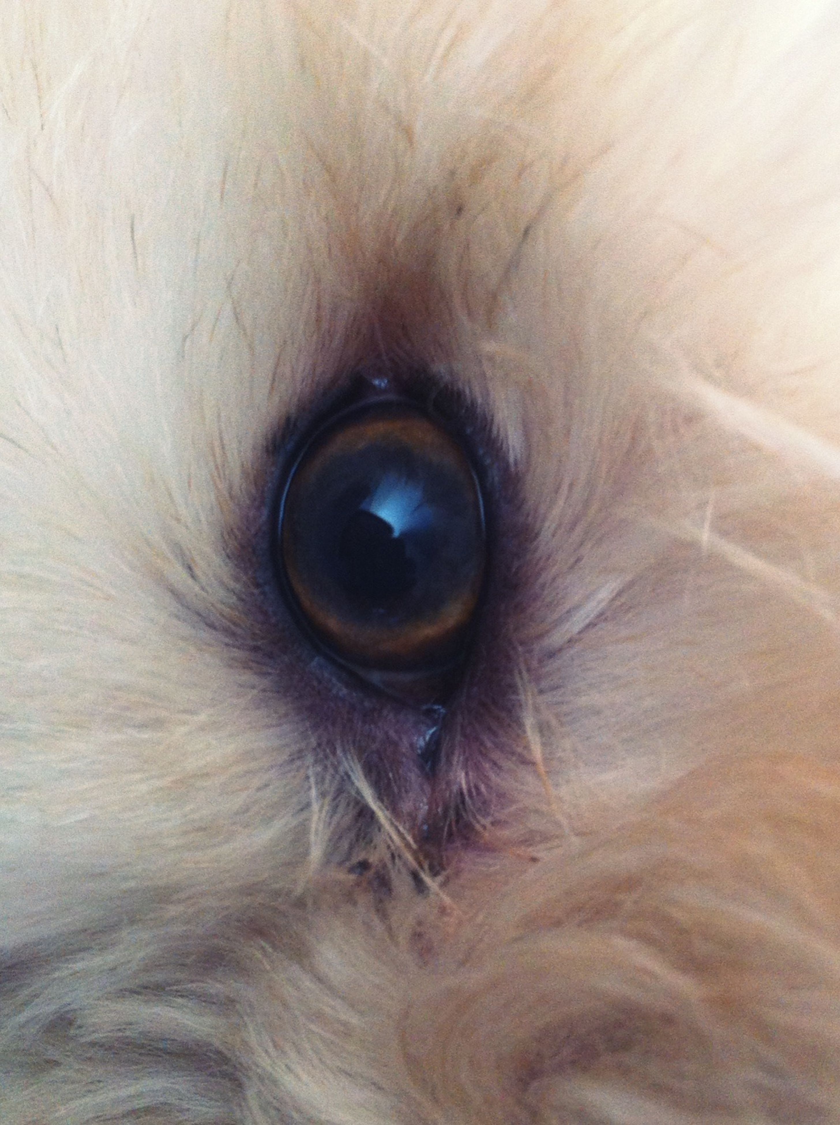 one animal, close-up, animal themes, full frame, extreme close-up, animal eye, backgrounds, animal body part, part of, animal head, human eye, portrait, extreme close up, looking at camera, pets, animal hair, sensory perception, domestic animals, detail, eyelash