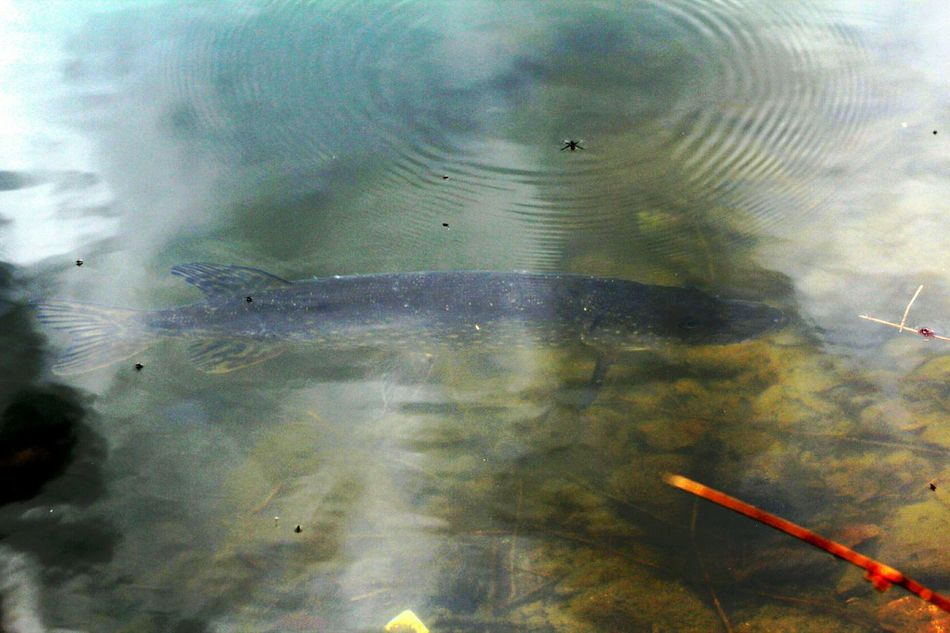Predator Pike Water Boatman Under Water Fish Hanging Out Check This Out Enjoying Life Check This Out Esox Lucius.