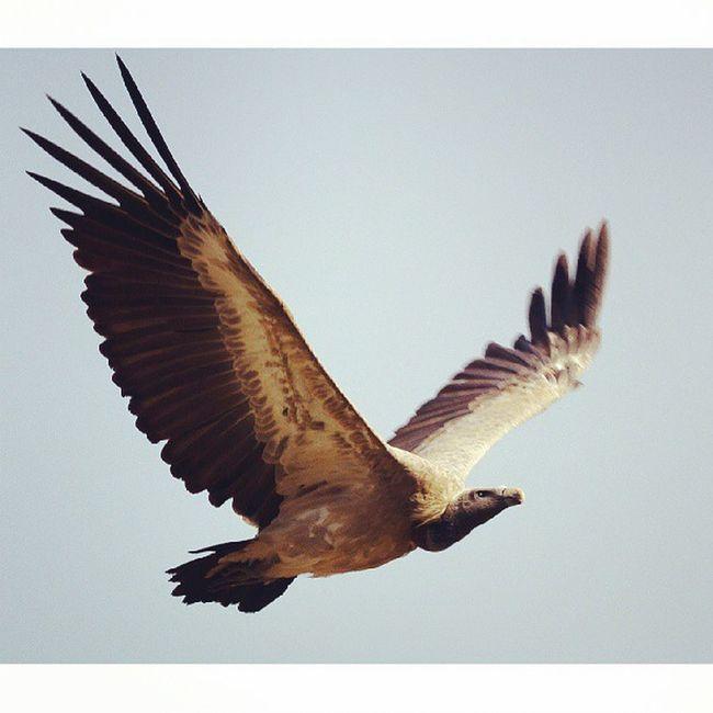 An Indian Vulture. These Vultures were a frequent sighting at Bandhavgarh. ShounakNayakPhotography Wildlife Bandhavgarh Bird