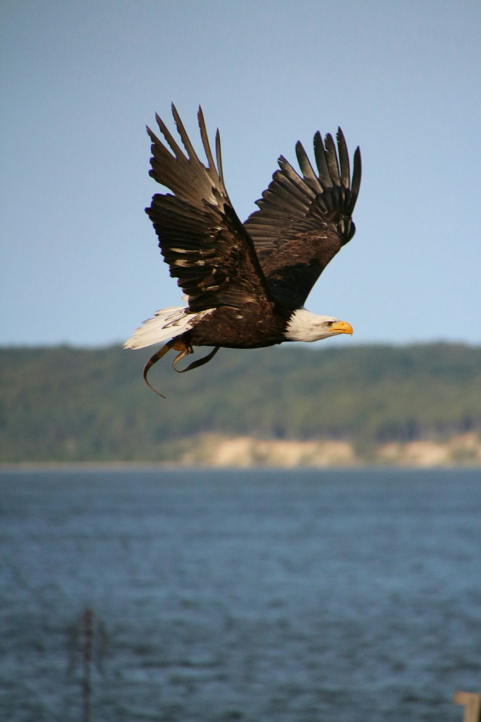 Beautiful stock photos of bald eagle, Animal Themes, Animals In The Wild, Bald Eagle, Beauty In Nature