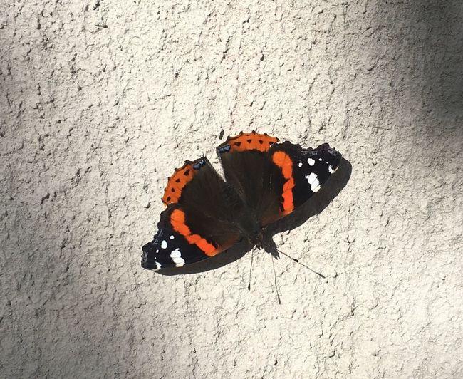 Amiraaliperhonen 😊 Amiraaliperhonen Admiralbutterfly Perhonen Butterfly Collection
