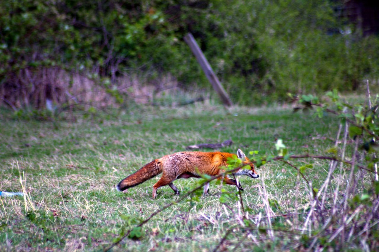 Beautiful stock photos of fox, , Animal Themes, Animals In The Wild, Day