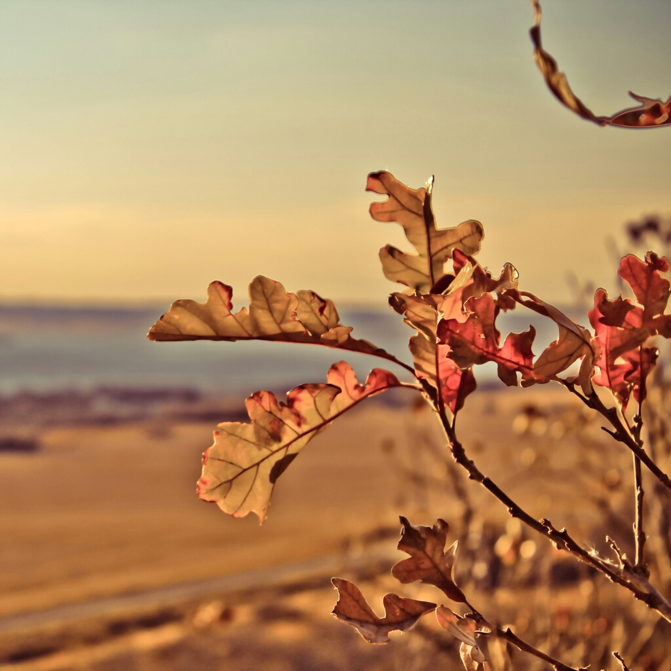 focus on foreground, close-up, nature, tranquility, dry, sky, branch, clear sky, selective focus, beauty in nature, beach, leaf, outdoors, no people, tranquil scene, day, tree, twig, scenics, sea