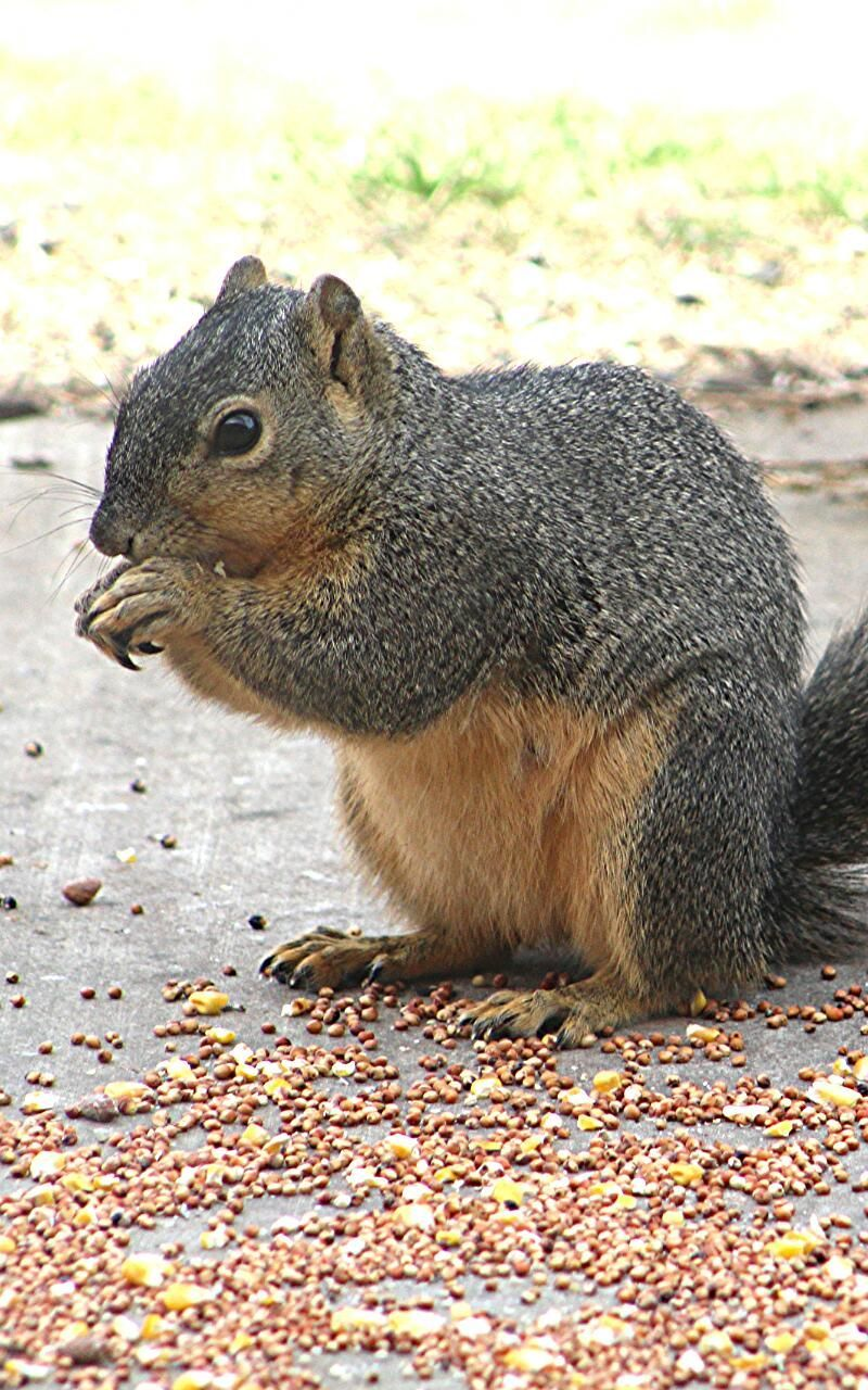 one animal, animal themes, animals in the wild, mammal, no people, day, squirrel, animal wildlife, leaf, nature, outdoors, eating, close-up