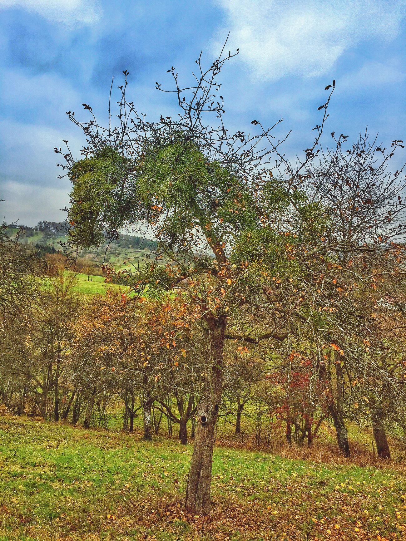 Mistletoe Tree Rural Scene Evergreen
