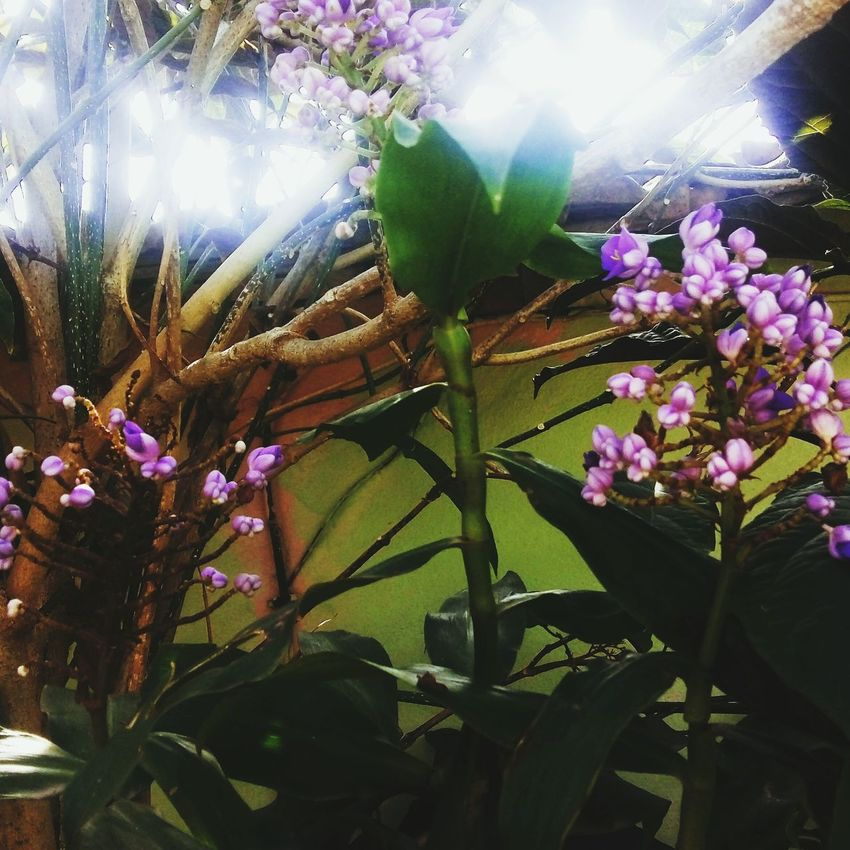 Flower Nature Plant Beauty In Nature Fragility Outdoors Growth Purple No People Leaf Close-up Freshness Day Tree Flower Head Good Morning Nature Meuquintal RJ Brazil
