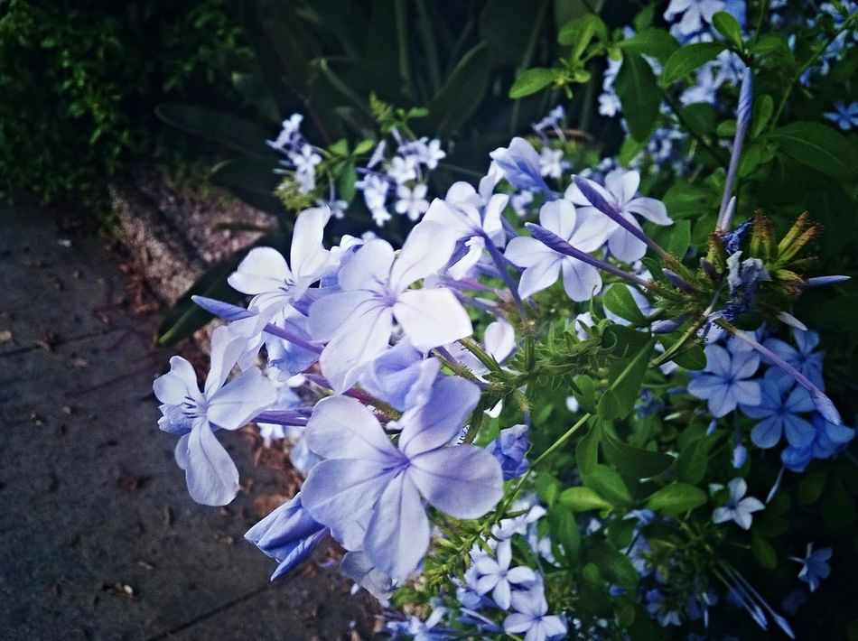 Several blue plumbago Blue Plumbago Flowers Nature Taking Photos Concrete Green Light Blue