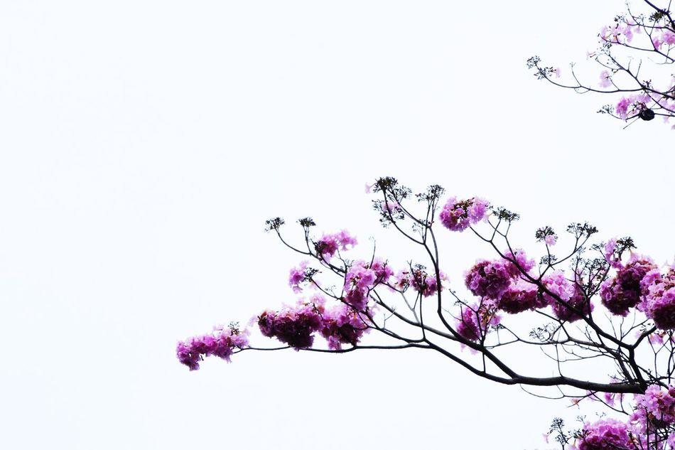 Flower Copy Space Beauty In Nature Fragility Nature Blossom Tree Clear Sky Branch Growth Pink Color No People Springtime Freshness Low Angle View Petal White Background Studio Shot Outdoors Close-up First Eyeem Photo Light And Shadows EyeEmBestPics EyeEm Best Edits EyeEm Animal Lover