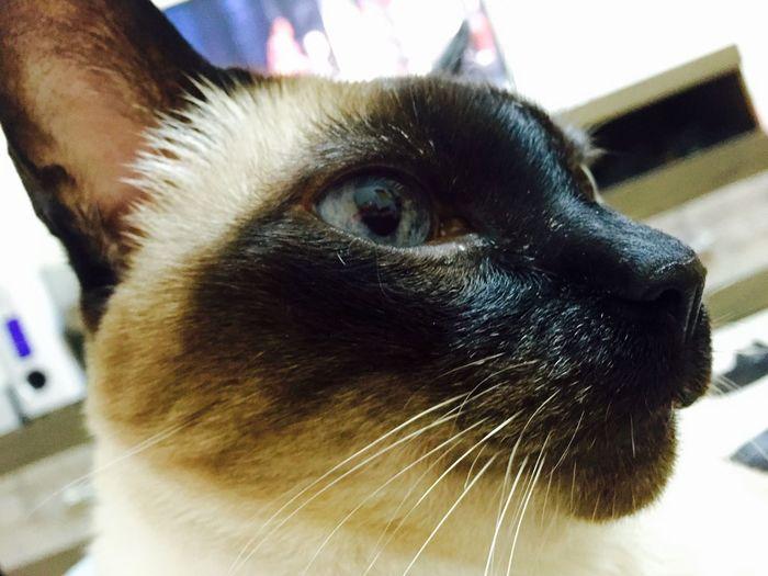 Brasil ♥ Hello World Cat♡ Cat Cats Lovecats❤️ I Love My Cat I Love My Cats  That's Me Hi!