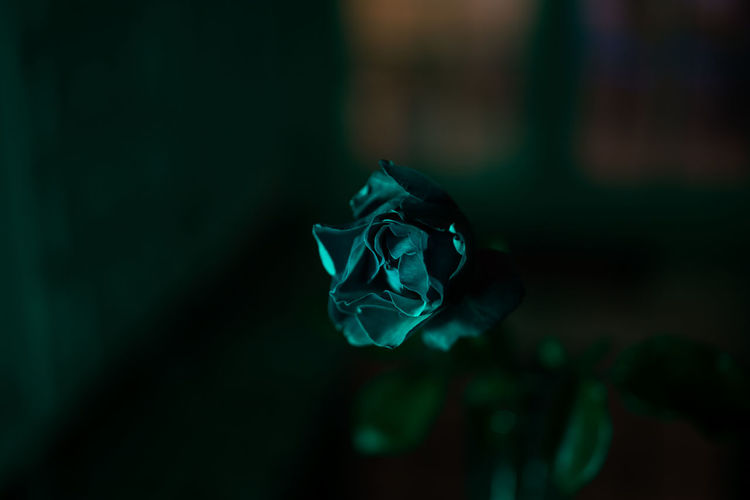 Art Is Everywhere Beauty In Nature Close-up Flower Flower Head Fragility Green Color Nature No People Petal Rose - Flower Light And Shadow Focus On Foreground Break The Mold Studio Shot Playing With Light Rose🌹 Night Leaf A Rose Is A Rose Is A Rose Lightphotography Indoors
