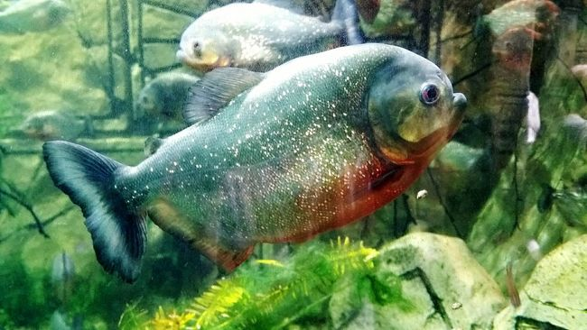 Piranhas Phirana Shiny Fish