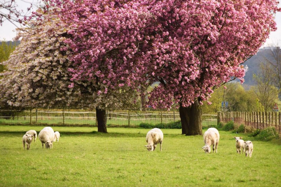 Tree Domestic Animals Mammal Animal Themes Livestock Growth Nature Grass No People Grazing Beauty In Nature Dutch Landscape Dutch Countyside Blooming Outdoors Day Sheep Flower