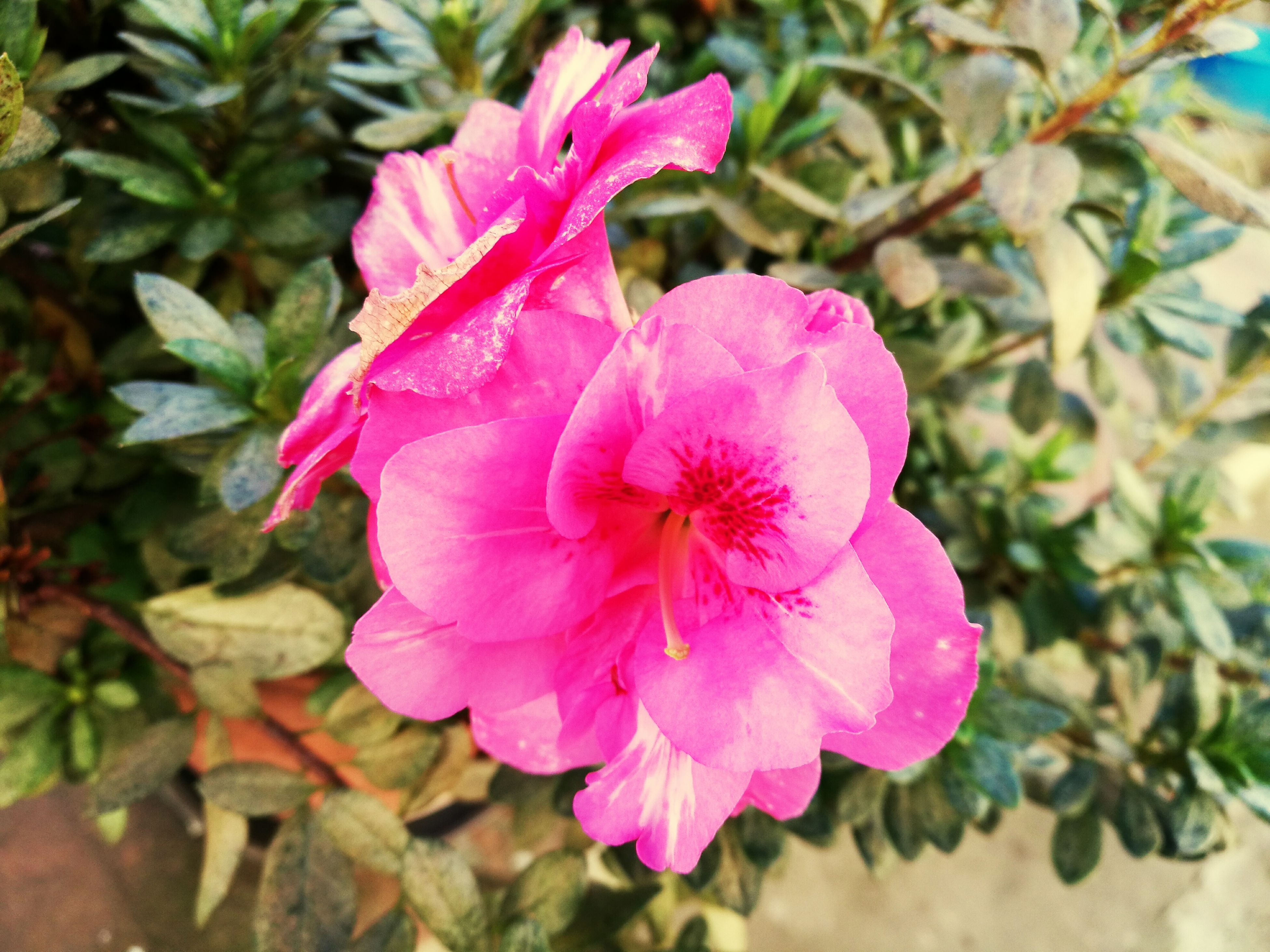 pink color, flower, petal, growth, nature, freshness, fragility, flower head, beauty in nature, plant, close-up, outdoors, blooming, no people, rhododendron, day, pistil