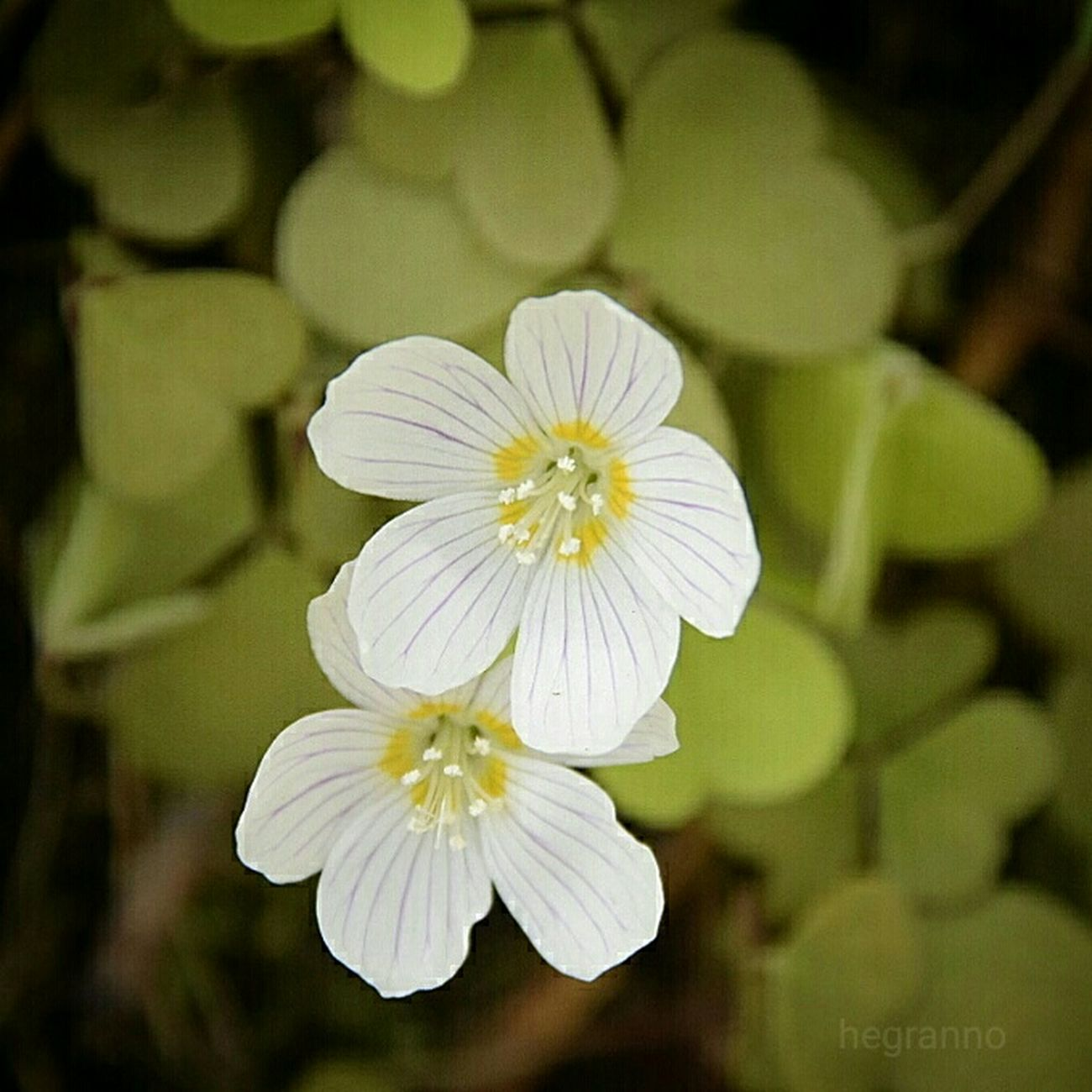 One of the smallest flowers in the forest and a favourite. So small so delightful! Wood sorrel,( Harsyra ) Forest Macro Flowers Forestflower Nature_collection EyeEm Nature Lover Hello World Woodsorrel