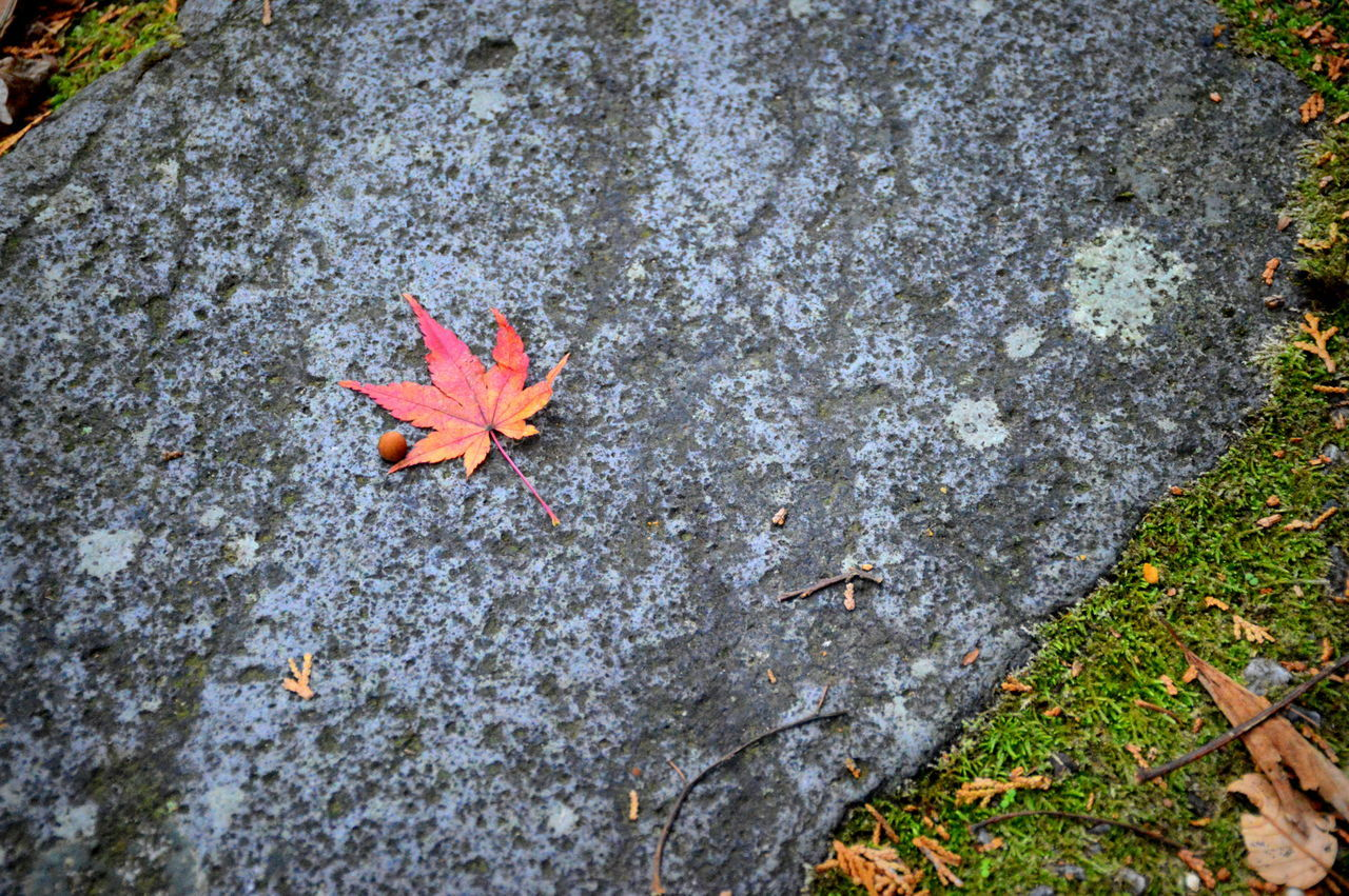 Autumn Beauty In Nature Close-up Fallen Leaf Leaf Leaves Maple Maple Leaf Maple Leaf On A Stone Maple Leaf On The Road Maple Leafs Maple Leaves Maple Seeds Maple Syrup Maple Tree Maple Tree Leaves Maple Trees Mapleleaf Mapleleafs MapleLeaves Maples Maplesyrup MapleTree Moss Nature