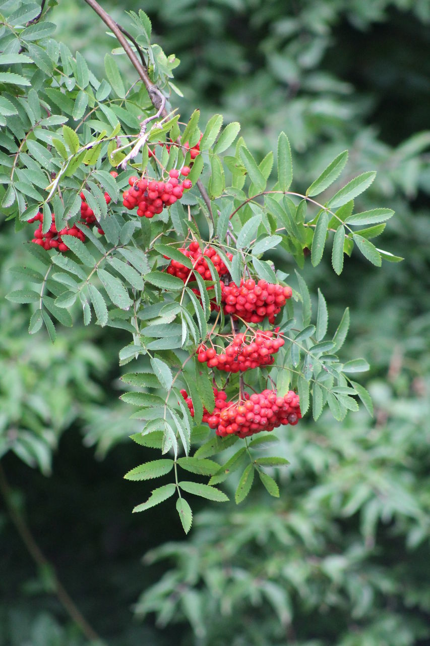red, fruit, green color, growth, food and drink, nature, outdoors, no people, rowanberry, focus on foreground, leaf, freshness, plant, food, day, beauty in nature, tree, branch, close-up