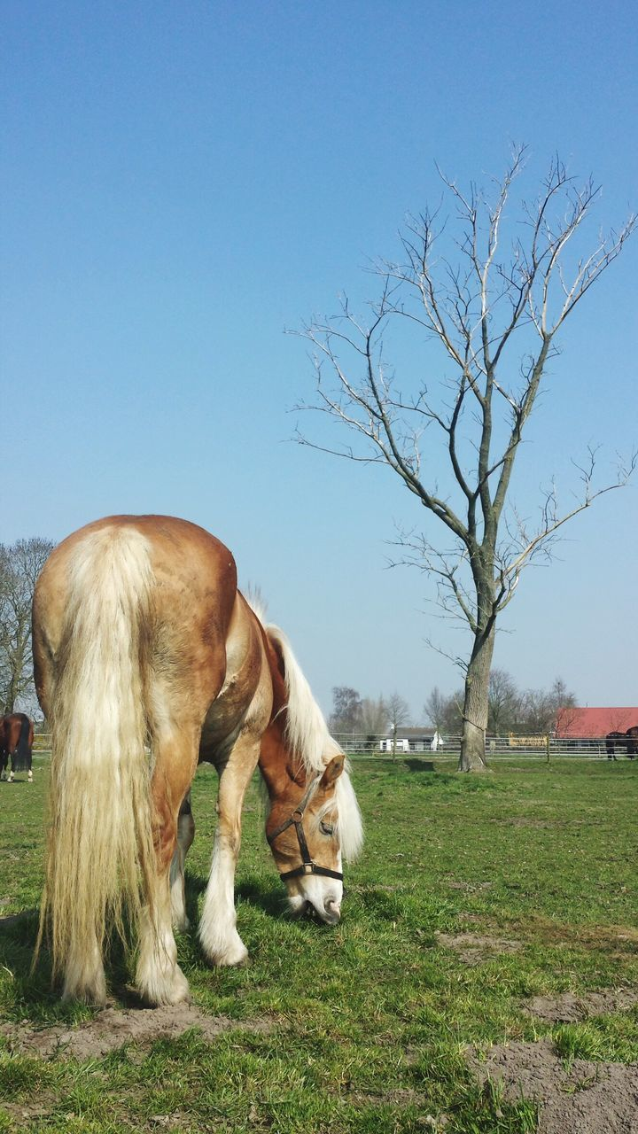 domestic animals, mammal, animal themes, one animal, horse, clear sky, field, day, outdoors, grass, tree, nature, no people, pets, landscape, bare tree, full length, sky, beauty in nature