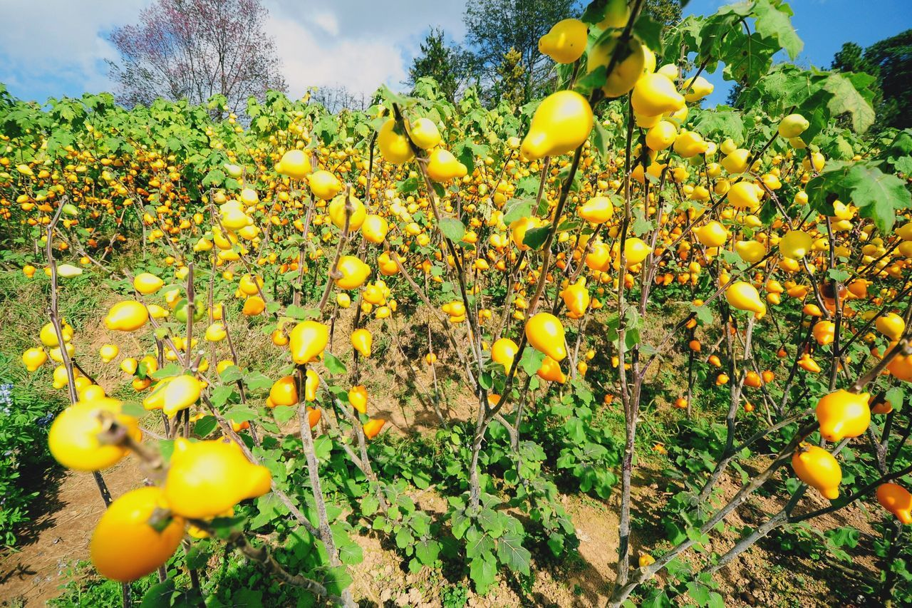 Lemon Lemonade Soar Lemon Trees Lemon Farm Plant Yellow Output Fresh Materials Harvest Organic Nutritious The Essence Of Summer The Essence Of Summer- 2016 EyeEm Awards