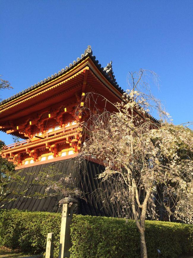 京都 仁和寺 鐘楼 桜