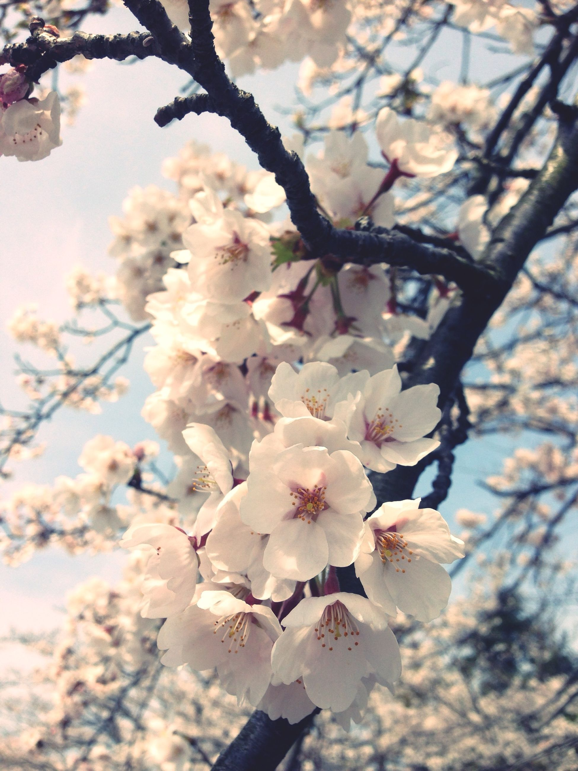 flower, branch, tree, freshness, cherry blossom, growth, cherry tree, low angle view, fragility, beauty in nature, blossom, nature, fruit tree, focus on foreground, twig, springtime, close-up, in bloom, petal, apple tree