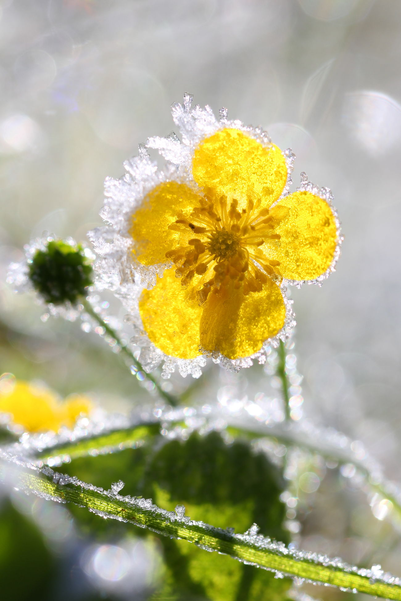 The nature defies the winter. Canon Eos60d Flower Frozen Drop Green Plant Ice Ice Cristal Ice Flowers Winter Wonderland Yellow Flower First Eyeem Photo
