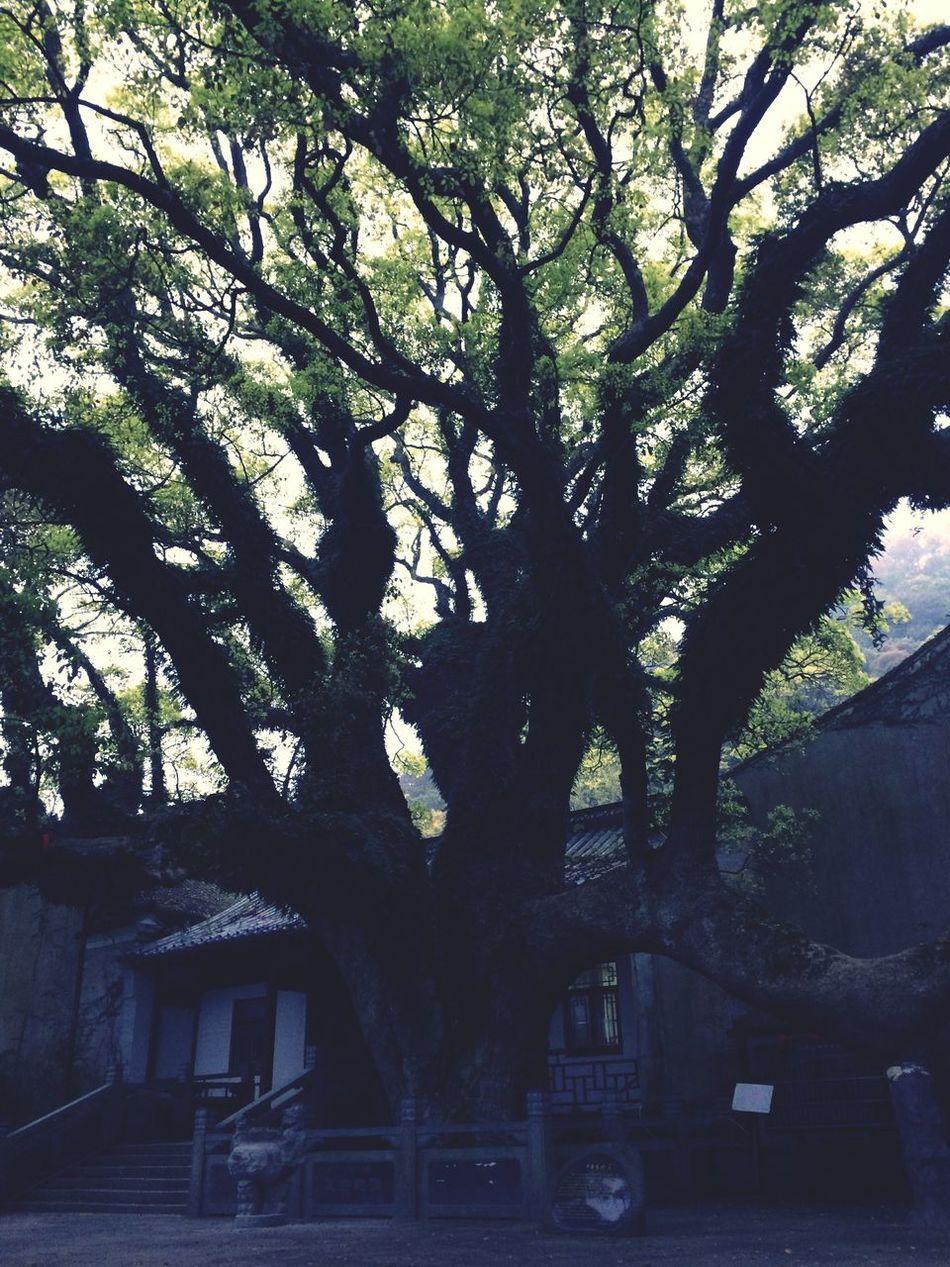 古樹 gǔ shù Tree Architecture No People Growth Nature Outdoors Day Nature Beauty In Nature