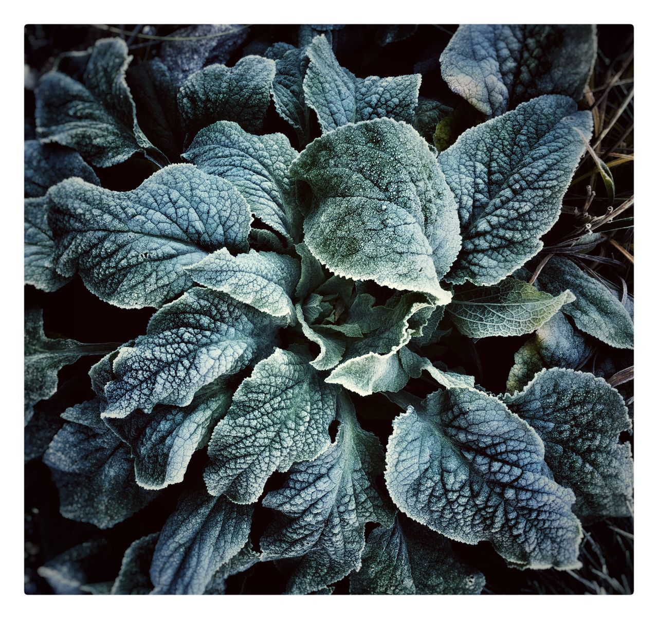 First frost upon the garden. Frost Frosty Mornings Plant Dork'd Nature Close-up Leaf Garden Photography Garden Foxglove