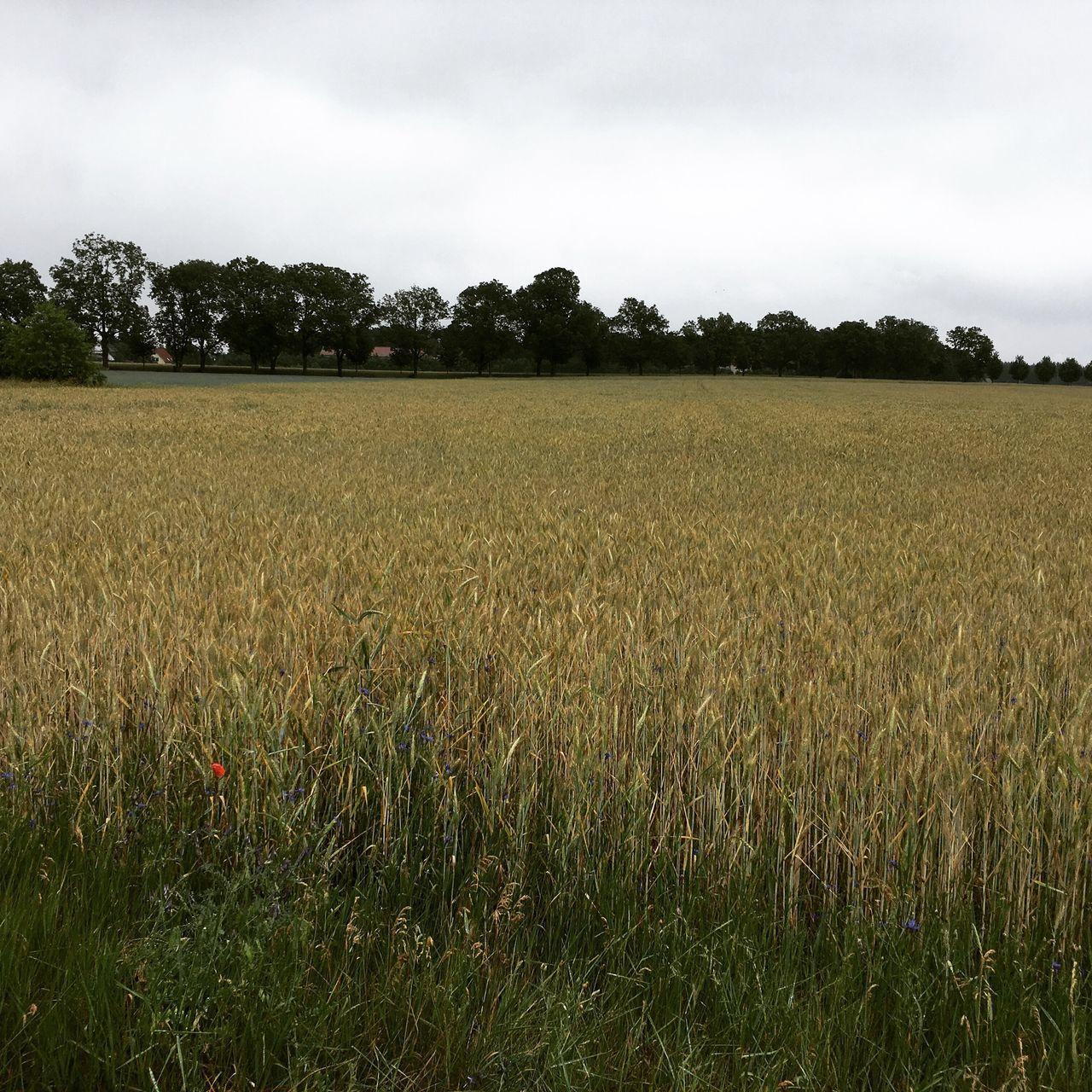 Corn Kornfeld Getreide Getreidefeld Mohnblume Cloudy Cloudy Day Cloudy Skies Summer Einbettimkornfeld Field Feld