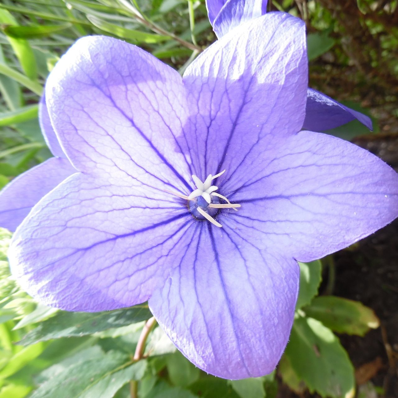 flower, petal, fragility, nature, growth, flower head, beauty in nature, freshness, plant, close-up, day, blooming, outdoors, purple, no people, petunia