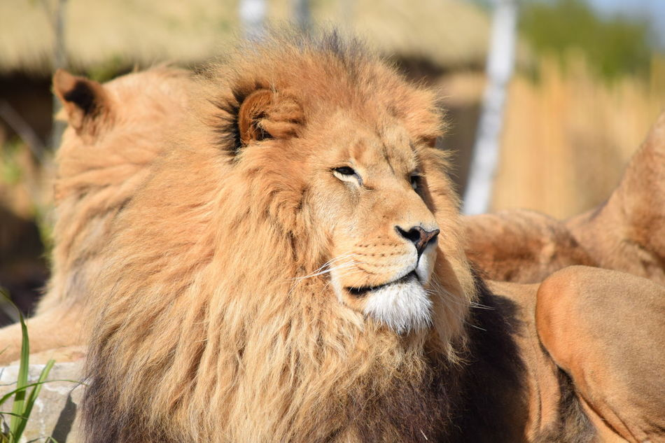 lion Animal Themes Animals In The Wild Close-up Day Feline Focus On Foreground King Lion Mammal No People One Animal Outdoors Powerful Relaxation Rock Strong