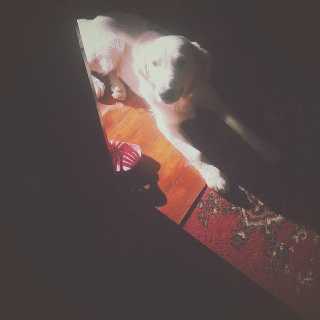 Adorable doge Dog Golden Retriever Adorable