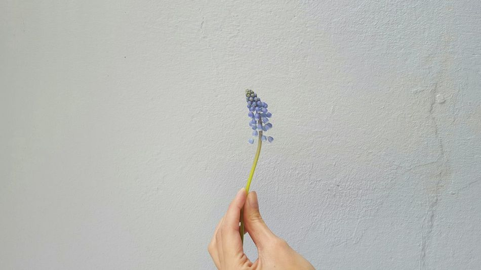 Put a spring in your step no.2: Cropped Hand Holding A Flower Young Woman Female Nails Stone Wall Vintage Wall Facades Flower Art Lovely Atmosphere Decorating Fingers Interior Design Nature Green Stalk Odour Smell Purple Blossoms  Spring Flower