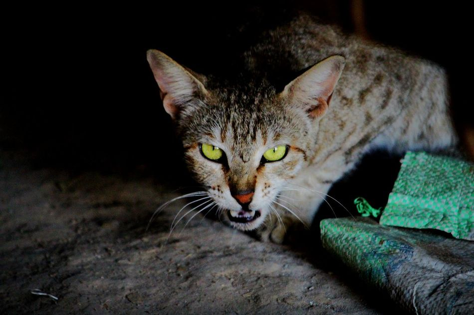 Domestic Cat Feline Animal Themes One Animal Pets Domestic Animals Looking At Camera Portrait No People Indoors  Close-up Cats Of EyeEm Kittens Of Eyeem Cat Photography Cateyes CatEye Cats 🐱 Green Eye Green Eyed Cat Green Eyes! Kitten Photography Kitten 🐱 Kittenoftheday