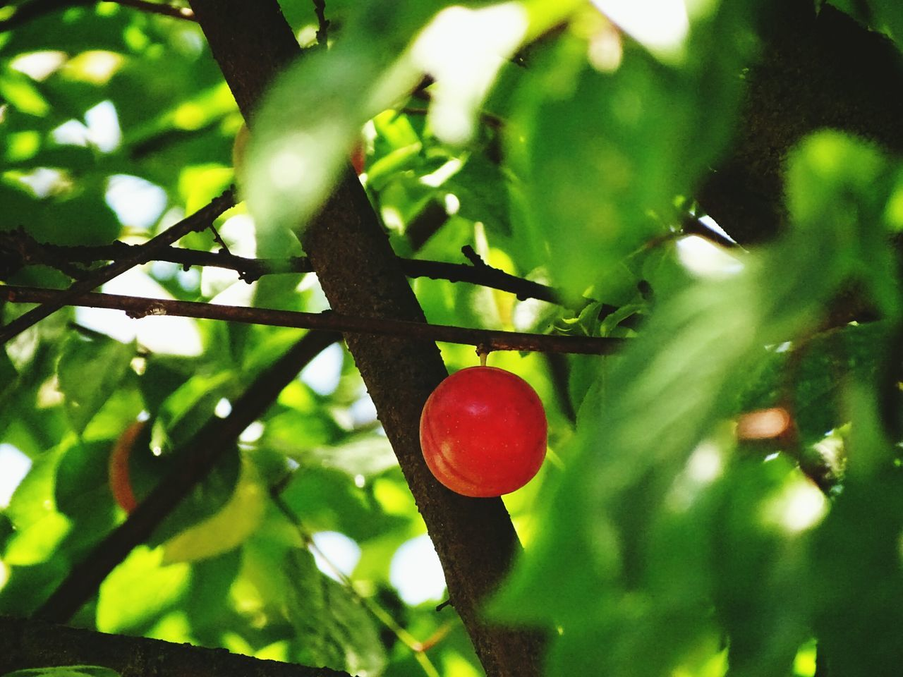 tree, growth, red, fruit, food and drink, food, nature, green color, outdoors, day, branch, hanging, no people, close-up, healthy eating, agriculture, freshness, beauty in nature