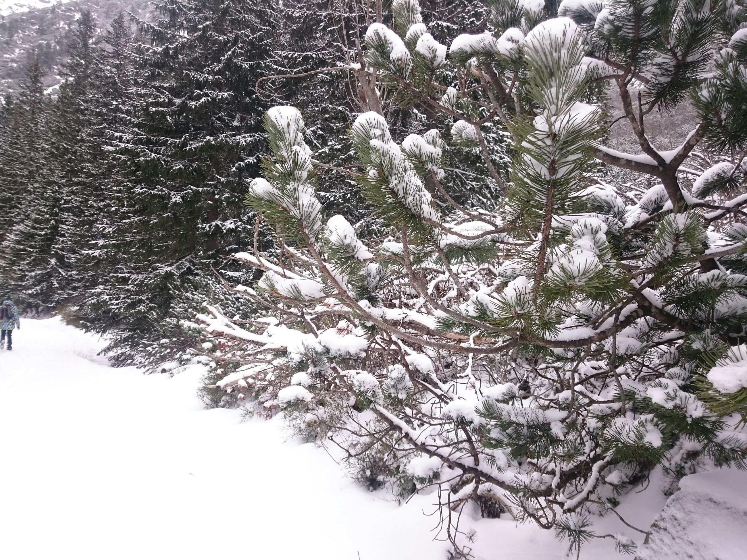tree, growth, branch, nature, tranquility, beauty in nature, white color, winter, day, snow, tranquil scene, outdoors, no people, low angle view, cold temperature, season, plant, sunlight, tree trunk, scenics