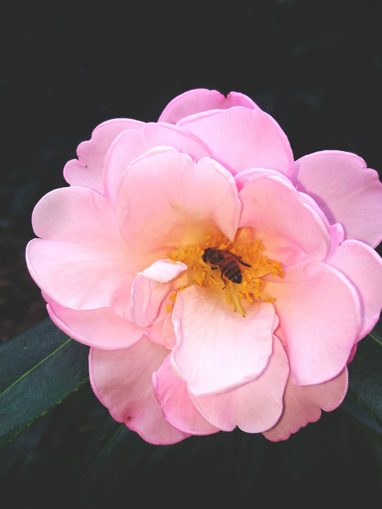 Camellia Flower Flower Nature Natureinaction Bee Bee And Flower Bee Pollinating Beautiful Nature Pink Flower