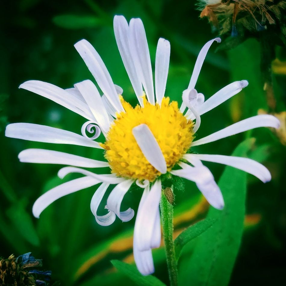 Flower Fancifulnature Mountainflower Whimsical Petals Daisy Daisyflower