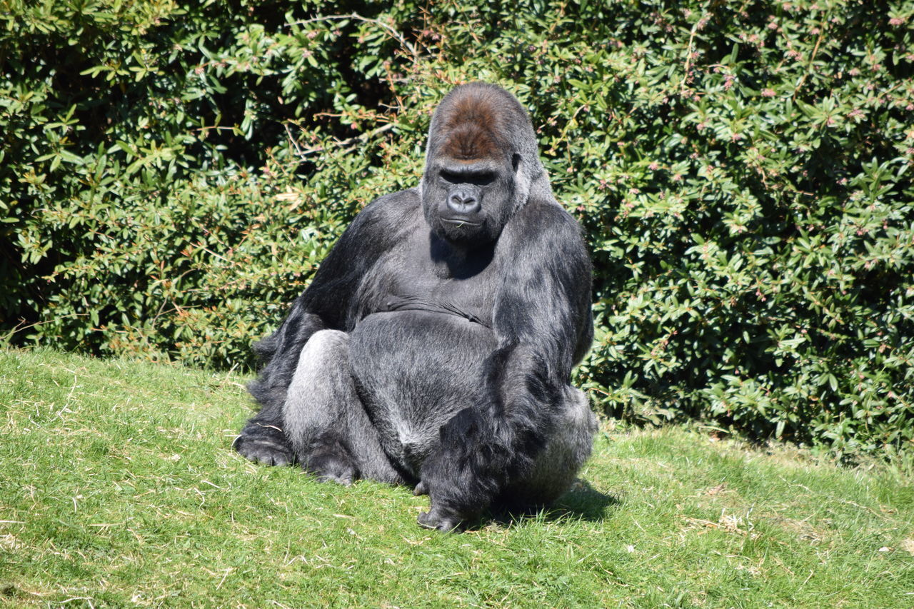 gorilla, grass, green color, animals in the wild, no people, animal themes, day, outdoors, nature, mammal, plant