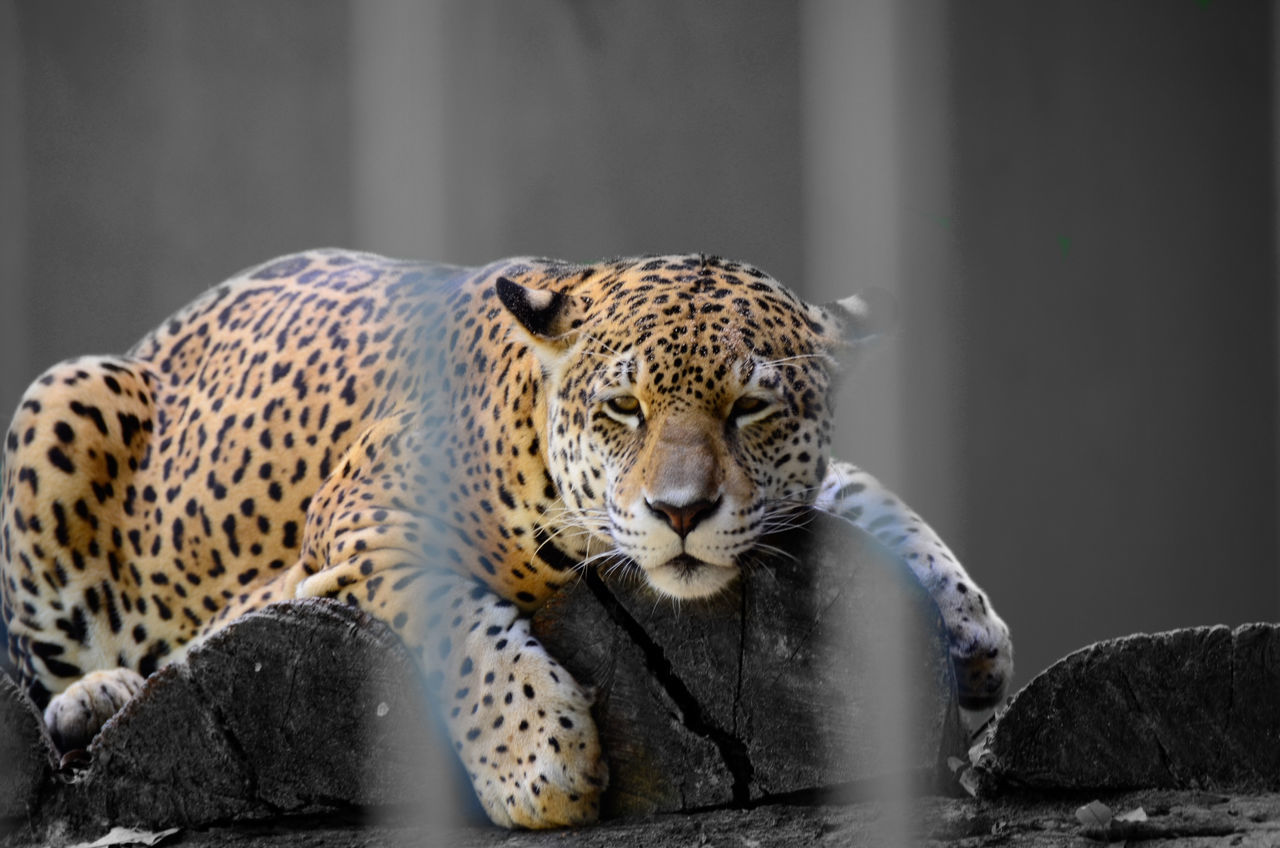 Beautiful stock photos of jaguar, Adult Animal, Animal Head, Animal Themes, Animals In The Wild