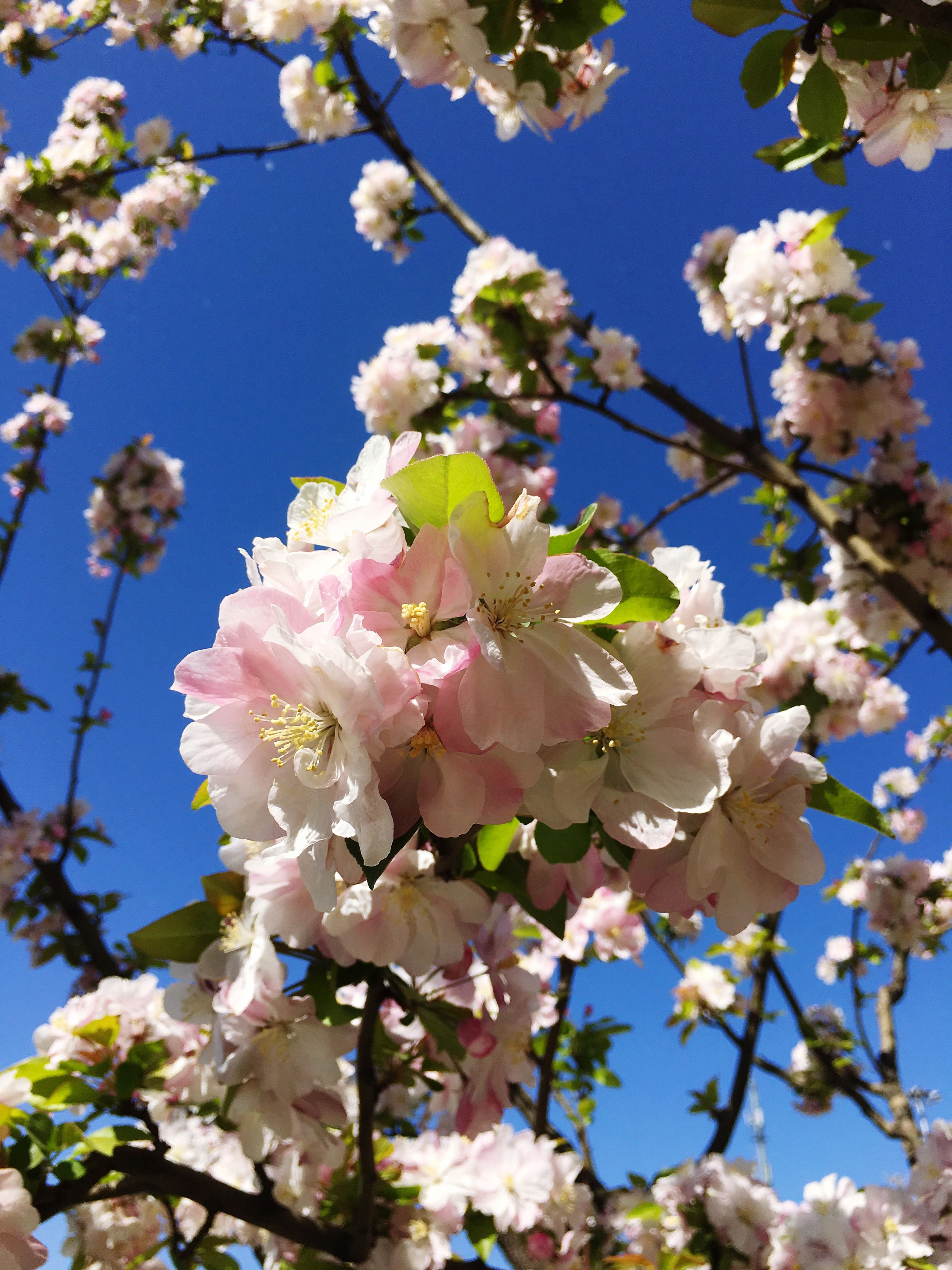 flower, low angle view, branch, freshness, tree, growth, fragility, clear sky, blossom, beauty in nature, cherry blossom, cherry tree, nature, fruit tree, blue, blooming, in bloom, springtime, pink color, sky