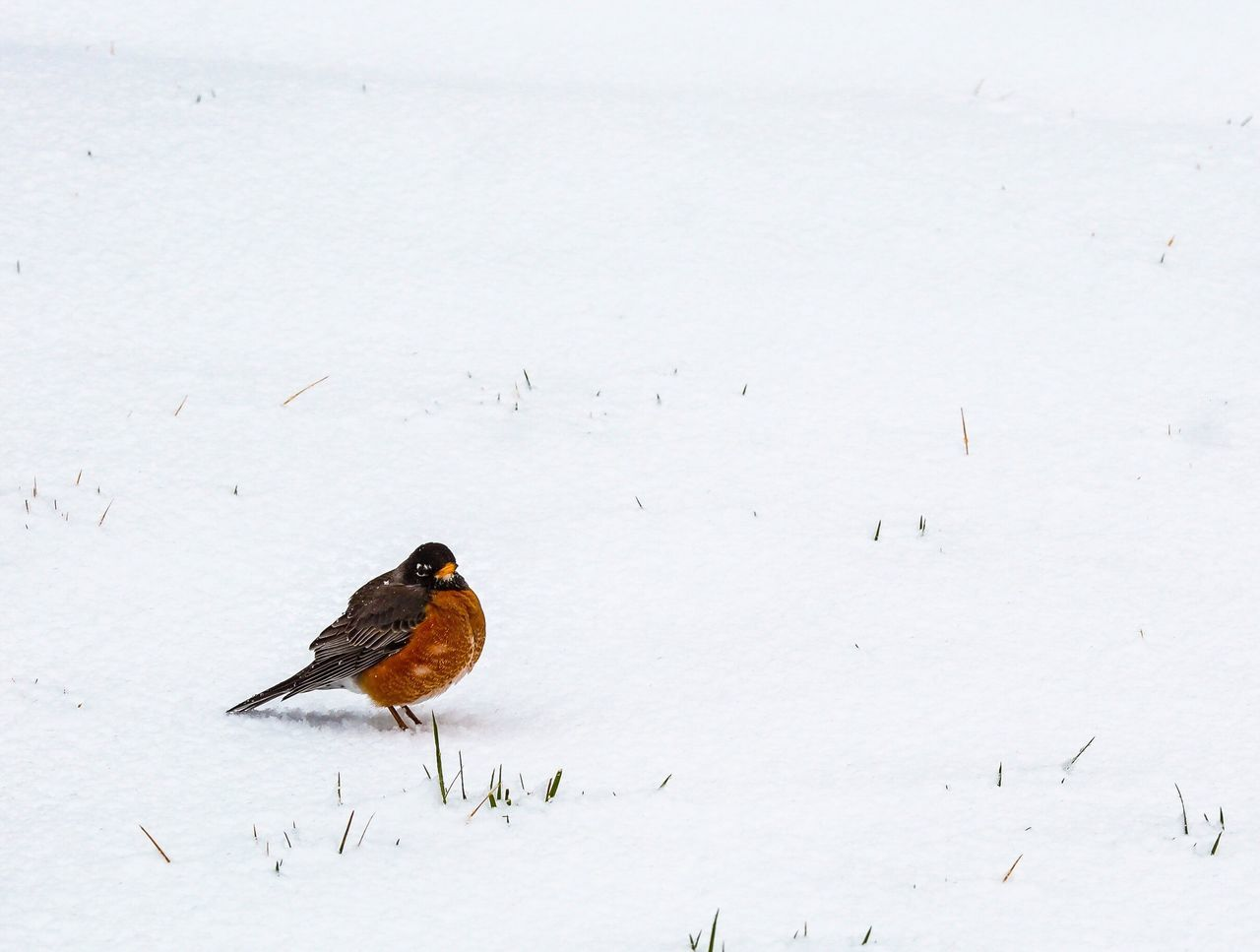 Snow Cold Temperature Winter Bird Animal Themes Animals In The Wild Weather Animal Wildlife Nature Perching Beauty In Nature One Animal No People Outdoors Day Songbird  Beauty In Nature Tranquility Tranquil Scene Scenics JGLowe