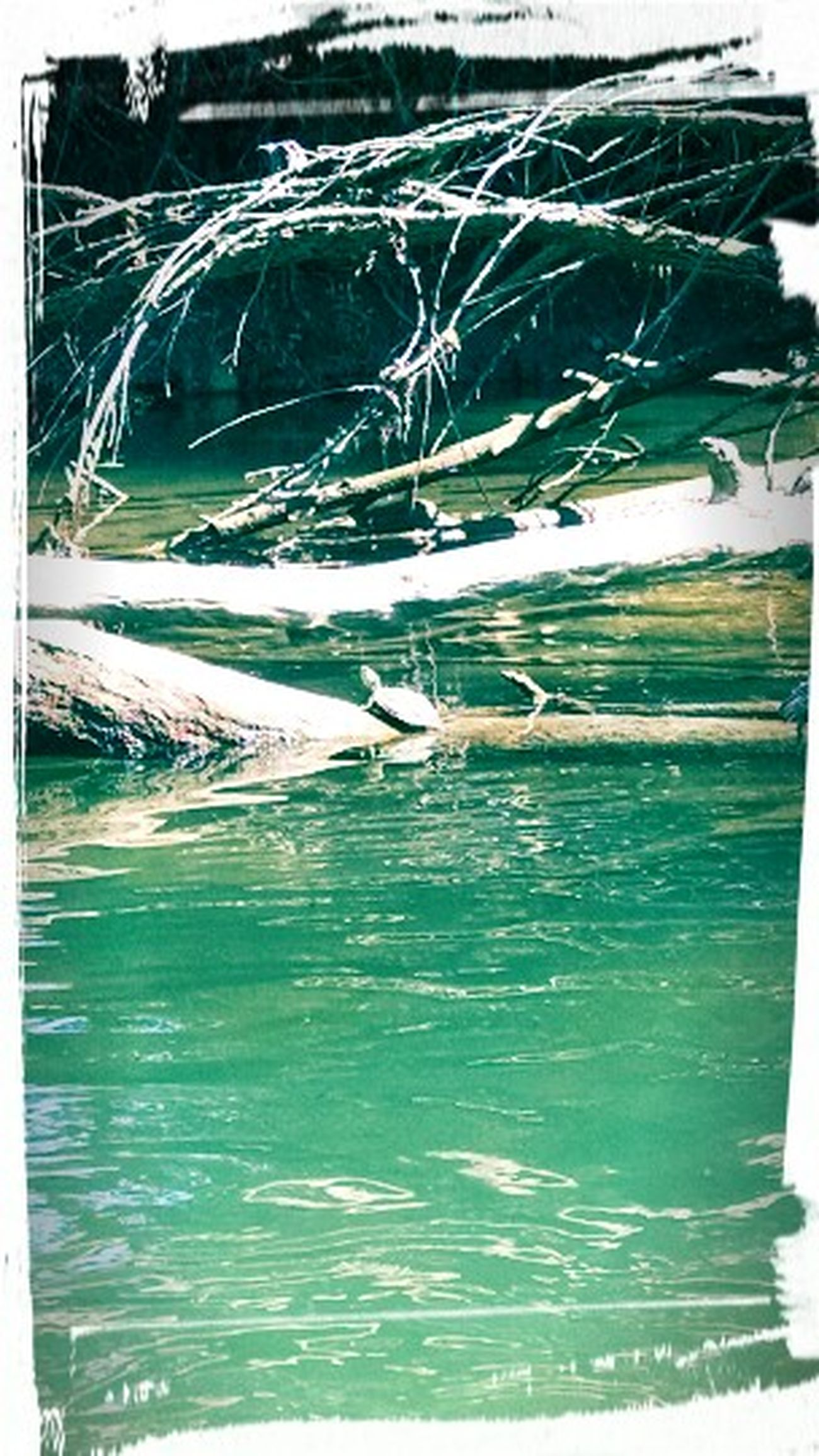 Turtles(: Creek Turtles