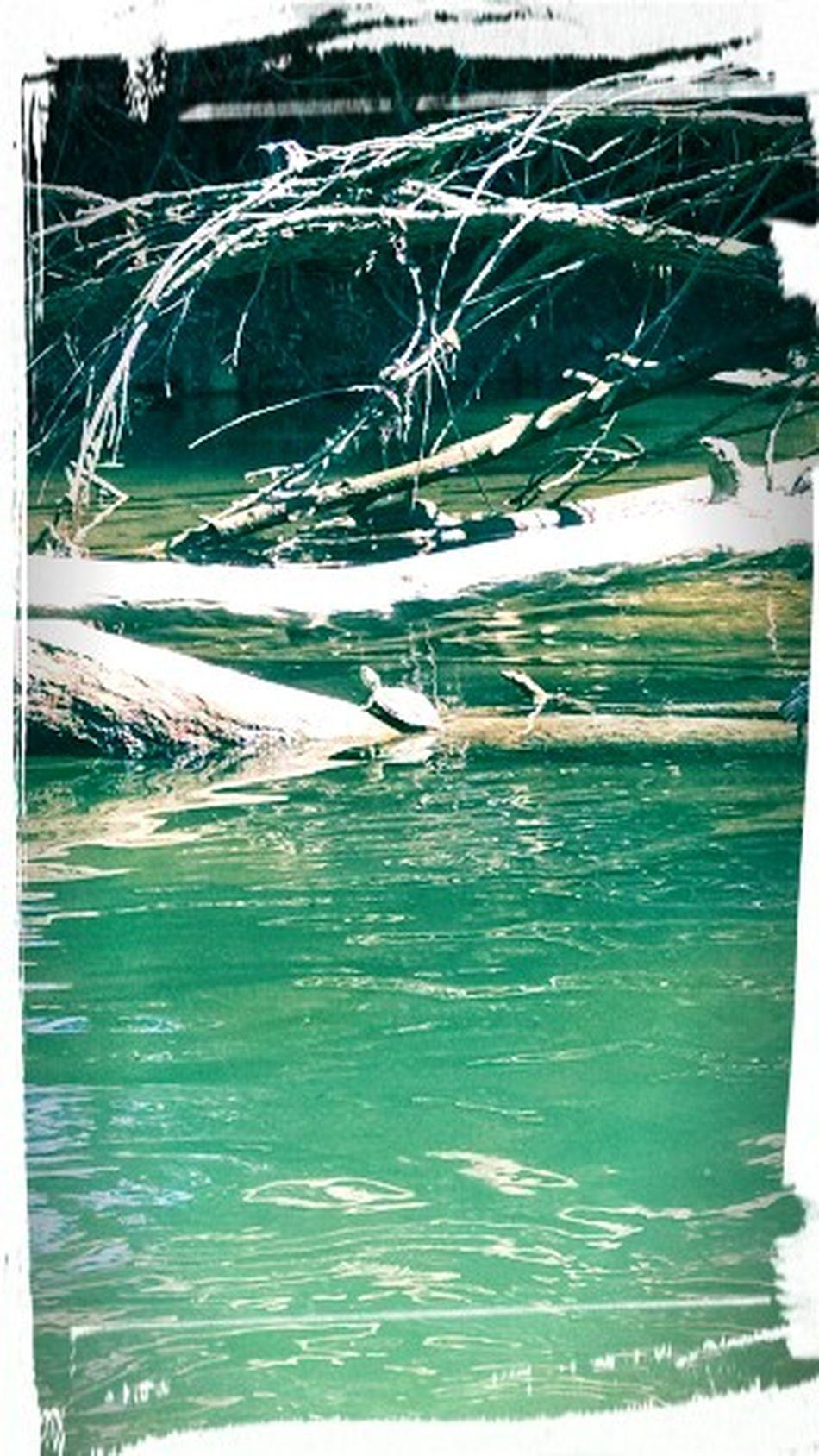 Turtles(: Creek Turtles