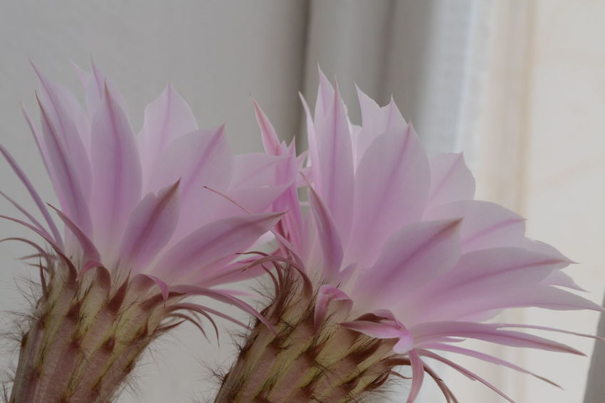 Beauty In Nature Cactus Flower Flower Head Growth Pink And Green Pink Flower Stars