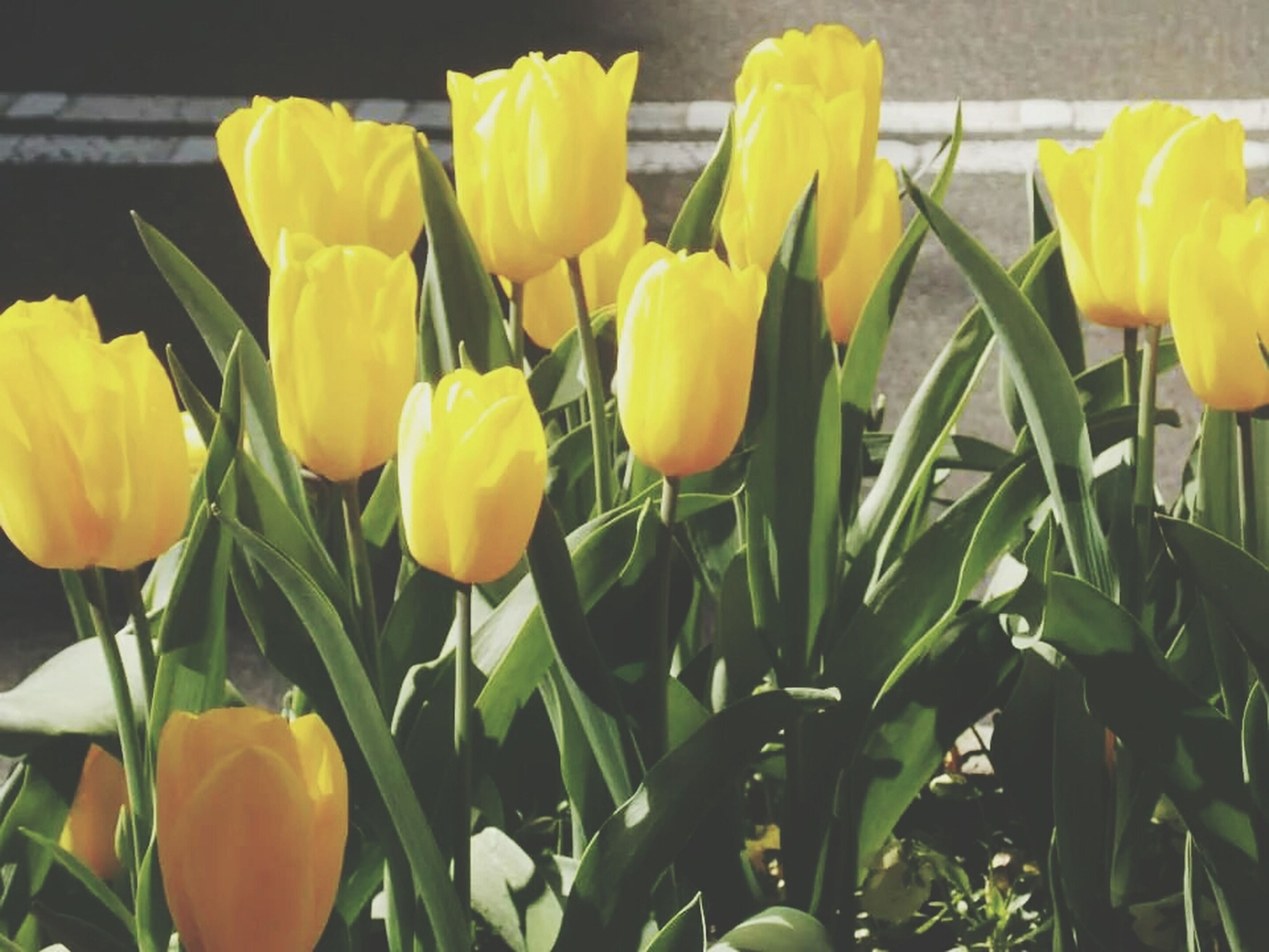 flower, freshness, tulip, yellow, fragility, growth, petal, plant, flower head, beauty in nature, nature, close-up, abundance, blooming, field, leaf, green color, day, outdoors, stem