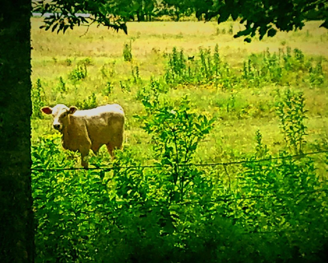 Hanging Out Taking Photos Check This Out Enjoying Life Cow Pasture PastureLand Calf Baby Calf White Cow Field