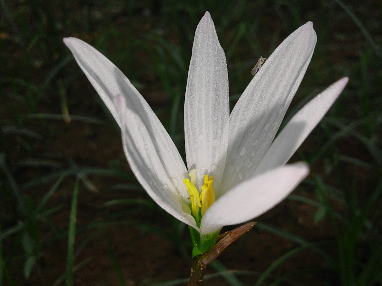flower, petal, nature, fragility, white color, beauty in nature, flower head, freshness, growth, plant, blooming, close-up, no people, outdoors, day, water, crocus